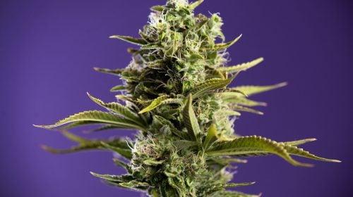 Essence Cannabis Dispensary